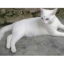 Gatinha Branca Angorá X Siamês 6 Meses