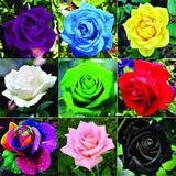 15 Sementes Rosas Raras Com Frete Gratis Carta Simples