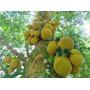 Mudas De Jaca Mole/dura - Selecionada Frutiferas