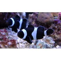 Amphiprion Ocellaris Black (peixe Palhaço) 3cm