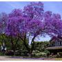 Jacarandá Azul Mimoso Mimosilia Sementes Para Mudas Árvores