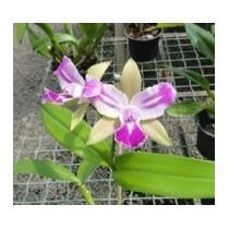 C Orquídea Cattleya Blc. Chyong Guu Benz Adulta