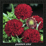 150 Sementes Flor Gailardia * Dobrada Cores Mista* + Brinde
