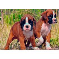 Lindos Filhotes De Boxer, Só Com A Equipe Pet Store