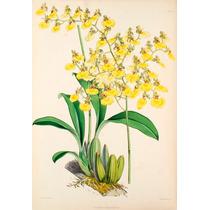 Orquidea Oncidium Bifolium Adulta, Corte Com 3 Bulbos Minimo