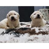 Filhotes De Labrador (amarelos)