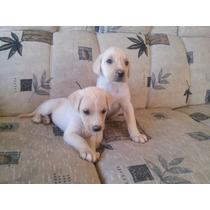Filhote De Labrador Caramelo Porte Grande