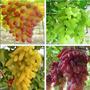 Uva Colorida 20 Sementes Planta Bonsa + Frete Grátis
