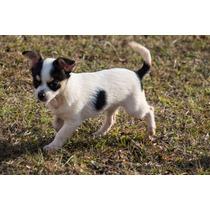 Filhote De Chihuahua Macho Com 4 Meses