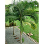 Kit 5 Mudas De Palmeira Real- Palmeira Australiana