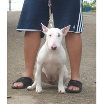 Filhotes Bullterrier Rj Nascidos Dia 08/07/2015