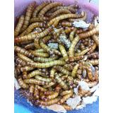 Larvas De Tenebrio Molitor Gecko Pogonas Pixarro