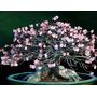 Adenium Thai Socotranum Petch Banna 5 Semente Rosa Deserto