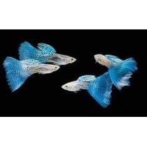 Guppy Blue Glass - Leilão