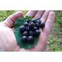 Saskatoon Serviceberry - Tipo Mirtilo - Sementes De Frutas