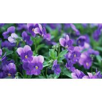 20 Violeta Rainha Africana Sementes Bonsai Plantas Flores