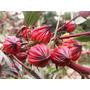50 Sementes De Vinagreira Hibisco Sabdariffa Groselha Rosela