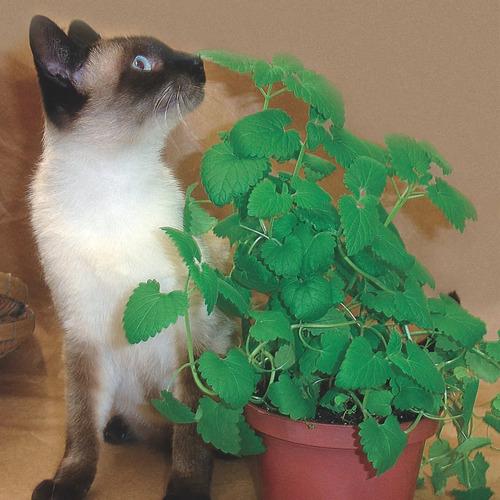 1000 Catnip Sementes De Erva Do Gato Frete Gratis Brasil Top