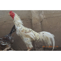 Ovos Galados Galo Indio Gigante R$35.00 16 Unidades