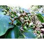 Pacote C/ 60 Sementes De Uva Japonesa Para Cultivo De Mudas