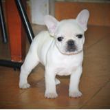 Bulldog Francês - Filhotes Fêmeas Cbkc Branco