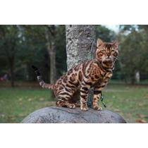 Gato Bengal - Filhotes Disponíveis - Fêmeas E Machos