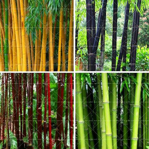 50 Sementes De Bambu Gigante Varias Especies Para Mudas