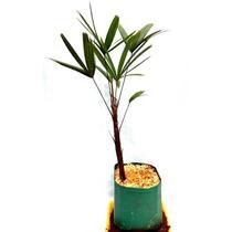 Muda De Ráfia - Palmeira - Jardim - Planta -