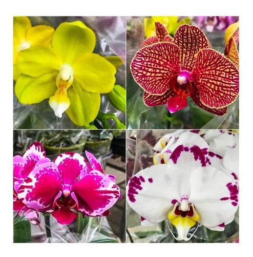 10 Mudas De  Orquidea Phalaenopsis Promocao Frete Gratis