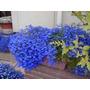 5000 Sementes De Lobélia Azul P/ Mudas Flores Jardim E Vaso