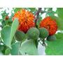 Amora Mulberry Paper Broussonetia Sementes Fruta Para Mudas