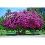 Muda De Primavera Rosa 30cm Ideal Para Bonsai Ou Jardim