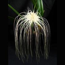 Orquídea, Bulbophyllum Medusae, Planta Adulta, Flor Exótica