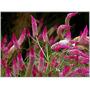 15 Sementes Celosia Spicata Flamingo Frete/gr Planta Flor