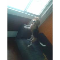 Beagle 5 Meses