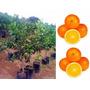 Kit Frutas - 10 Mudas De Laranja Bahia Enxertada + Brinde !!