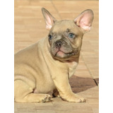 Bulldog Frances Macho Blue Fawn Filhote /canil Minion Bull