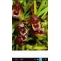 Maxillaria Cogniauxiana Mudas Adultas