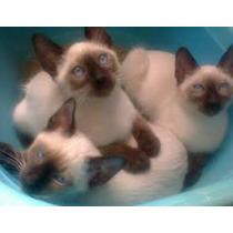Filhotes De Gato Siamês Sangue Puro