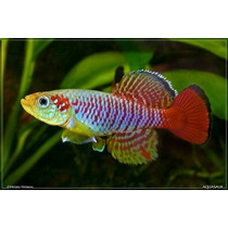 Turfa Killifish Nothobranchius Zanzibar Tan 97/2 30 Ovos