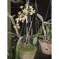 Encyclia Megalantha Adulta 3 A 5 Bulbos
