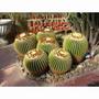 20 Sementes Cactos Echinocactus Grusonii #arak