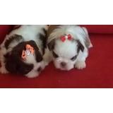Shihtzu Micro Filhotes