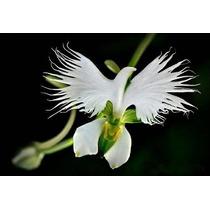 Orquídea Pomba Branca Da Paz