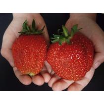 20 Sementes Morango Vermelho Gigante + Frete Grátis!!