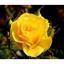 Mudas De Rosa Amarela