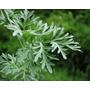 1500 Sementes Da Losna Absinto Artemisia Frete Gratis