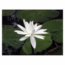 Lotus-peluda (nymphaea Pubescens) 1000 Und Manual De Cultivo