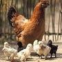 Mega Curso Criação Frango/galinha Caipira Videos+apostilas+b