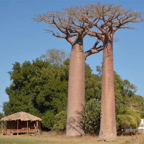 10 Mudas De Baobá